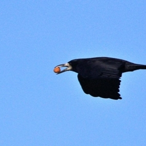 Rook with crab-apple?!