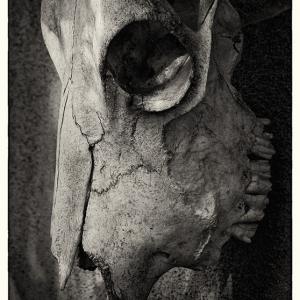 SIJ Day 13/ Bull Skull