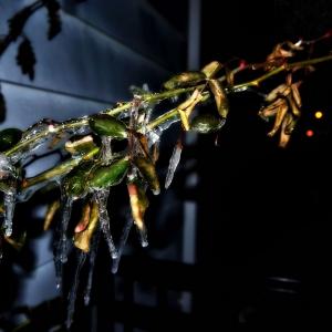 SIJ Day#21 - icicles on rosebush