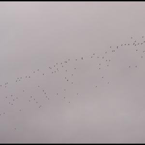 Golden Plover flock