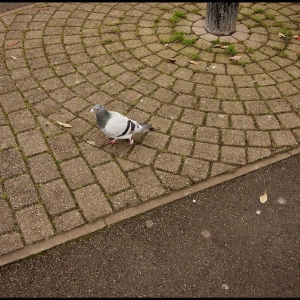 Domesticated Pigeon