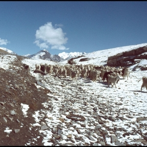 Goats decending from the Rohtang Pass