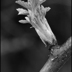 Bursting Bramble bud