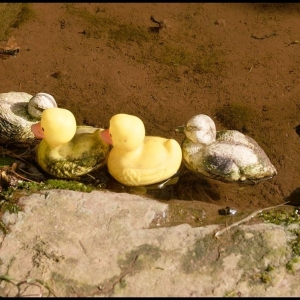 Rubberus duckii ducklings