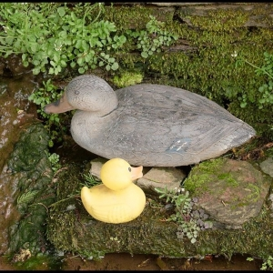 Rubberus duckii, female and duckling