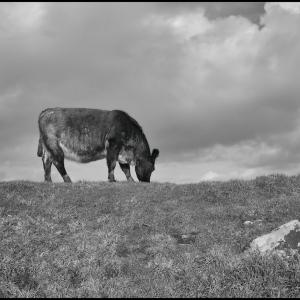 Cow on the skyline