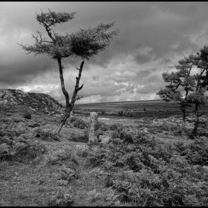 Scots pines at Haytor, Dartmoor
