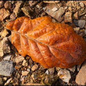 beech leaf on shingle