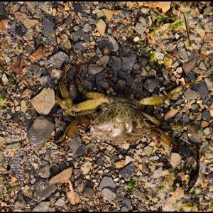 dead shore crab