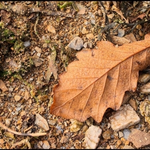 oak leaf on shingle