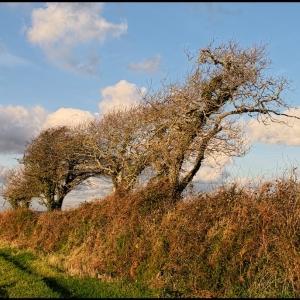 windblown trees in Great Luscombe