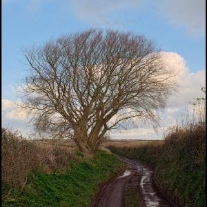 tree near Furze Cross