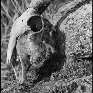 sheeps skull