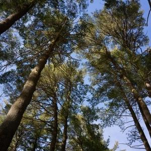 Eastern White Pines