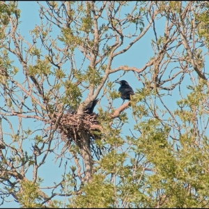 Carrion Crow at nest
