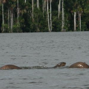 Giant Otters Tambo NP Peru