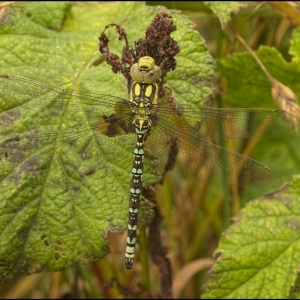 Immature male Southern Hawker dragonfly