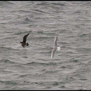 Arctic Skua and Black-headed Gull