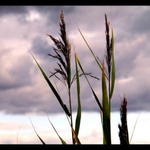 Marsh Reeds No 1