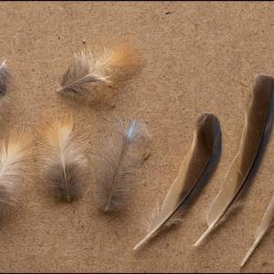 Kingfisher feathers