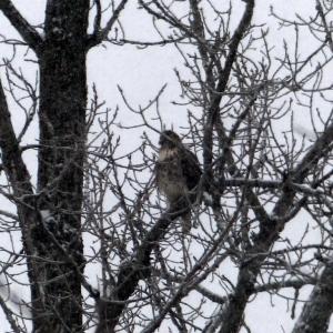 hawk_in_snowstorm_006-001_Medium_
