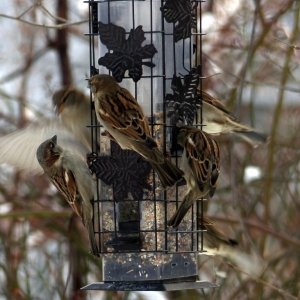Sparrow_mob_FZ200_012-001_Medium_