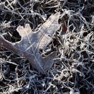Oak leaf in frost