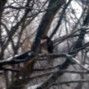 hawk_in_snowstorm_004-001_Medium_