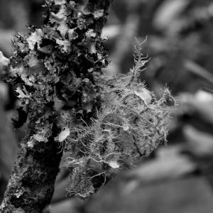Moss on Apple Tree