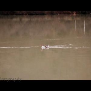 Speed goose