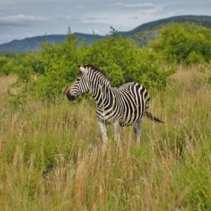 South Africa - Zebra