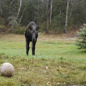 vollyball moose