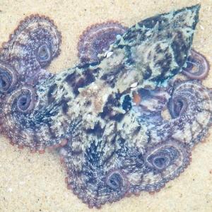 Sydney octopus